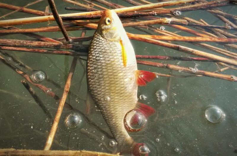 Wzdręgi to bardzo urokliwe i waleczne ryby